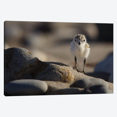 Snowy Plover Chick Canvas Print #ORI33} by David Orias Canvas Art