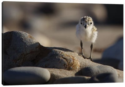 Snowy Plover Chick Canvas Art Print
