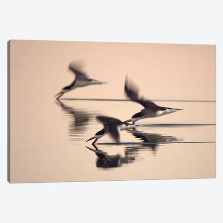 Three Black Skimmers Canvas Print #ORI41} by David Orias Canvas Print