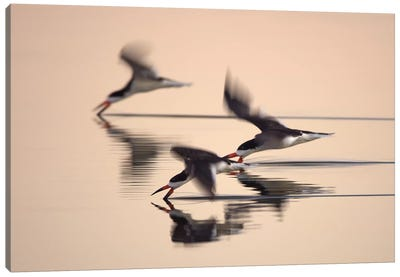 Three Black Skimmers Canvas Art Print