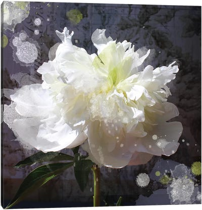 White Peony-Scents Of Heaven V Canvas Art Print