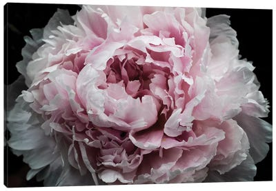 Pink Peony Passion I Canvas Art Print
