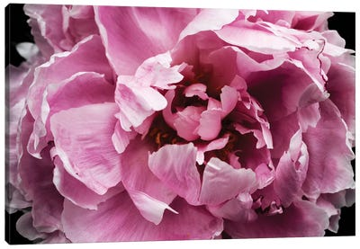 Pink Peony Passion III Canvas Art Print