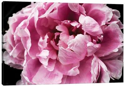 Pink Peony Passion IV Canvas Art Print