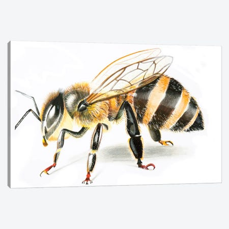 Bee II Canvas Print #OSF24} by Olga Shefranov Canvas Wall Art