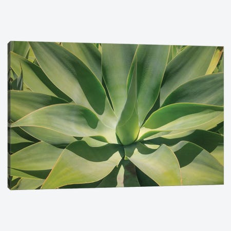 Agave Attenuata, Native To Mexico, Is Often Known As The Lions Tail, Swans Neck Or Foxtail. Canvas Print #OTW4} by Mallorie Ostrowitz Canvas Artwork