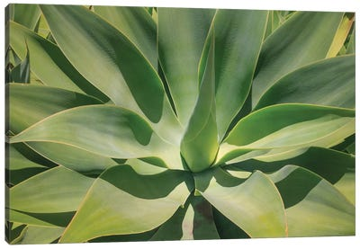 Agave Attenuata, Native To Mexico, Is Often Known As The Lions Tail, Swans Neck Or Foxtail. Canvas Art Print