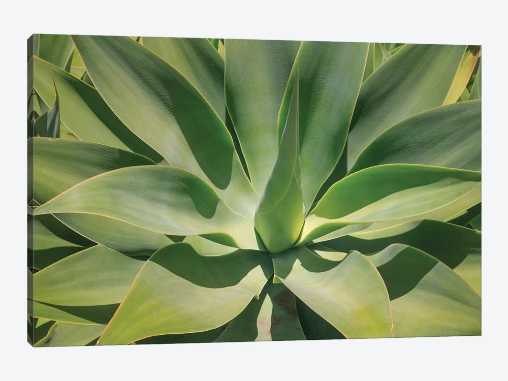 Agave Attenuata, Native To Mexico, Is Often Known As The Lions Tail, Swans Neck Or Foxtail. by Mallorie Ostrowitz 1-piece Canvas Art Print