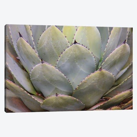 Parry'S Agave Or Mescal Agave. Canvas Print #OTW5} by Mallorie Ostrowitz Canvas Wall Art