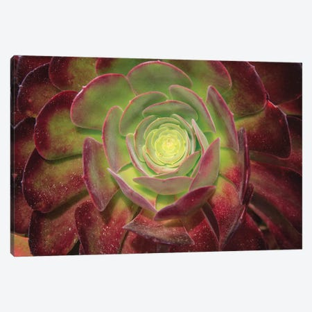 Succulent Named Prairie Sunset Or Houseleeks. Canvas Print #OTW8} by Mallorie Ostrowitz Canvas Print