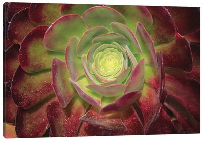 Succulent Named Prairie Sunset Or Houseleeks. Canvas Art Print