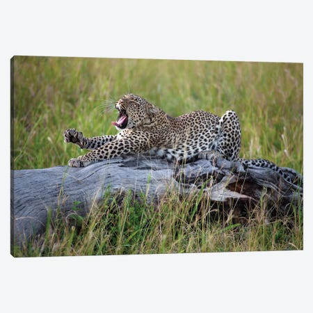 Big Cat Canvas Print #OXM1092} by Alessandro Catta Canvas Print