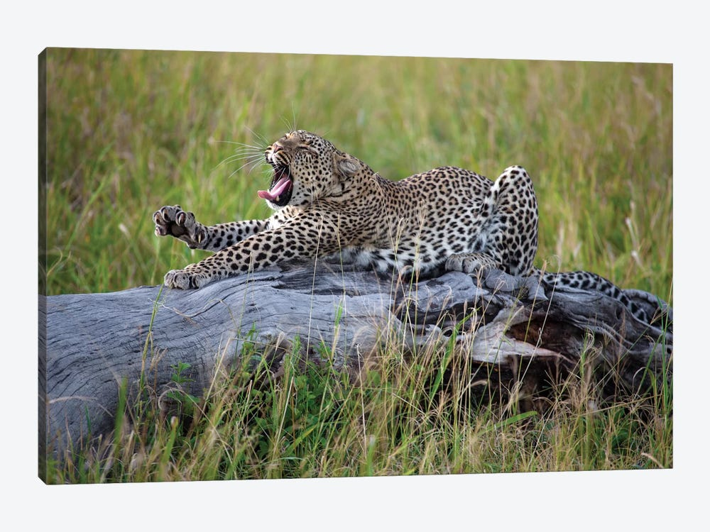 Big Cat by Alessandro Catta 1-piece Canvas Wall Art