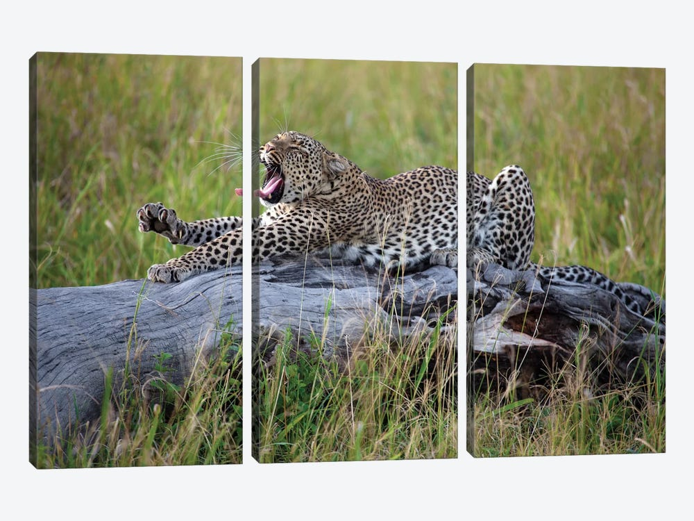 Big Cat by Alessandro Catta 3-piece Canvas Wall Art