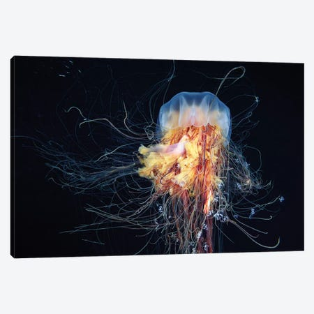 Giant Lion's Mane Jellyfish Canvas Print #OXM1100} by Alexander Semenov Canvas Print