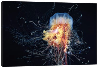 Giant Lion's Mane Jellyfish Canvas Art Print