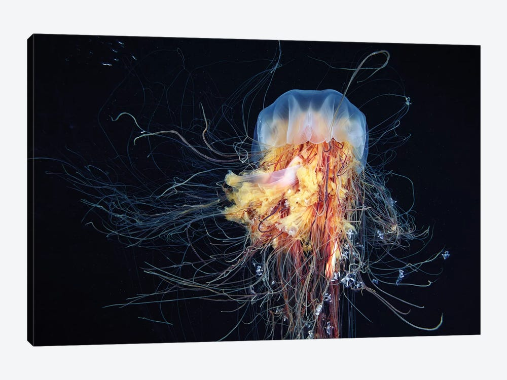 Giant Lion's Mane Jellyfish by Alexander Semenov 1-piece Canvas Artwork