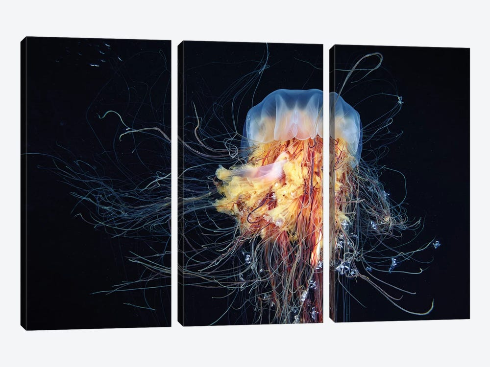 Giant Lion's Mane Jellyfish by Alexander Semenov 3-piece Canvas Wall Art