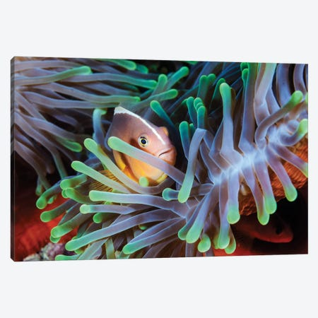 Clownfish Canvas Print #OXM1211} by Barathieu Gabriel Canvas Print