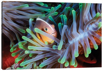 Clownfish Canvas Art Print