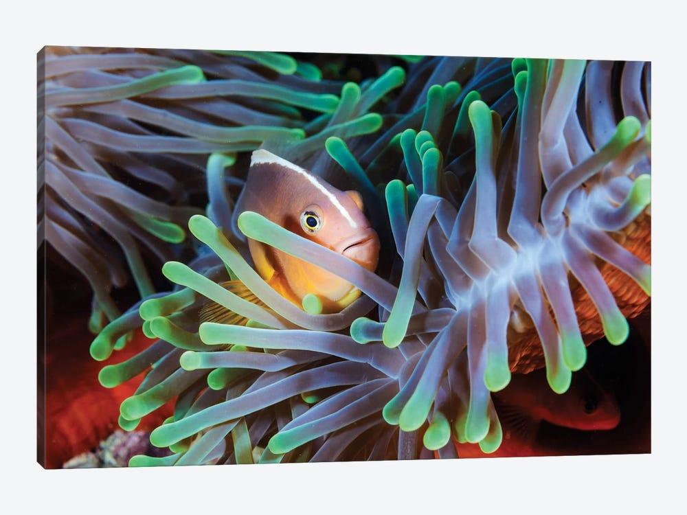 Clownfish by Barathieu Gabriel 1-piece Canvas Wall Art