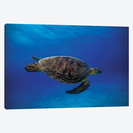 Green Turtle In The Blue Canvas Print #OXM1212} by Barathieu Gabriel Canvas Print