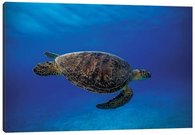 Green Turtle In The Blue Canvas Print #OXM1212