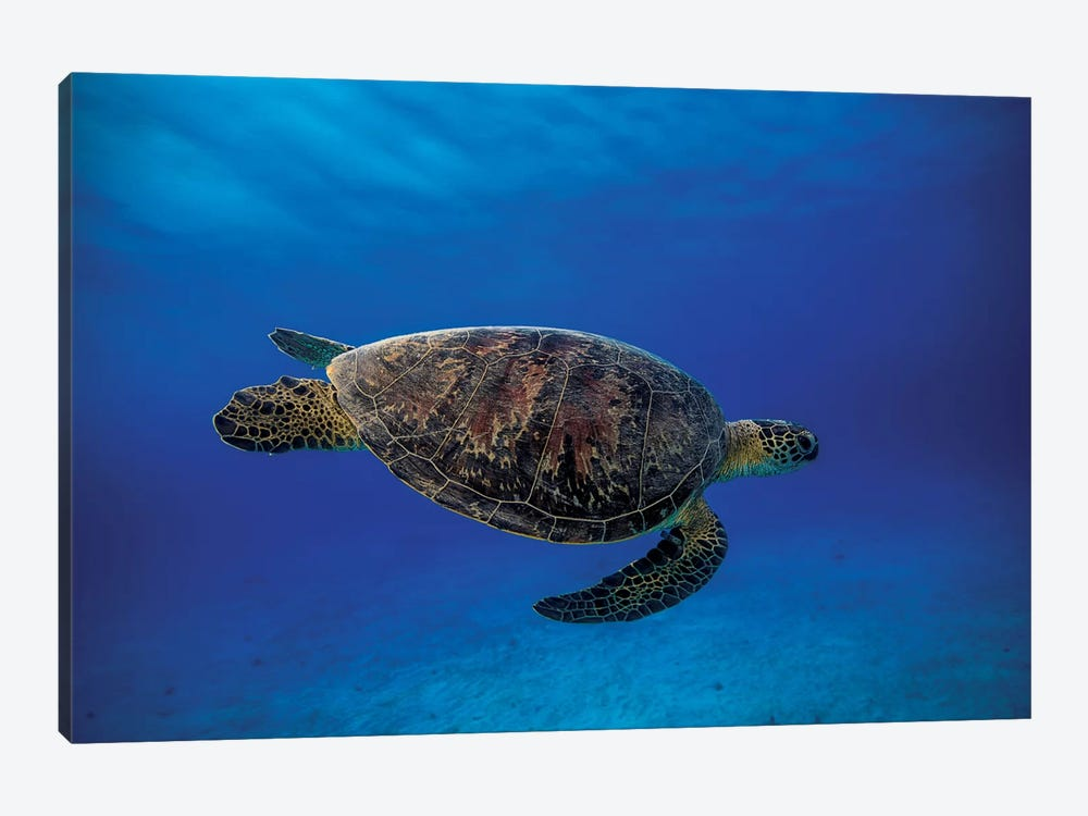 Green Turtle In The Blue by Barathieu Gabriel 1-piece Canvas Print