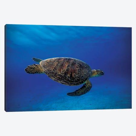 Green Turtle In The Blue Canvas Print #OXM1212} by Barathieu Gabriel Canvas Print