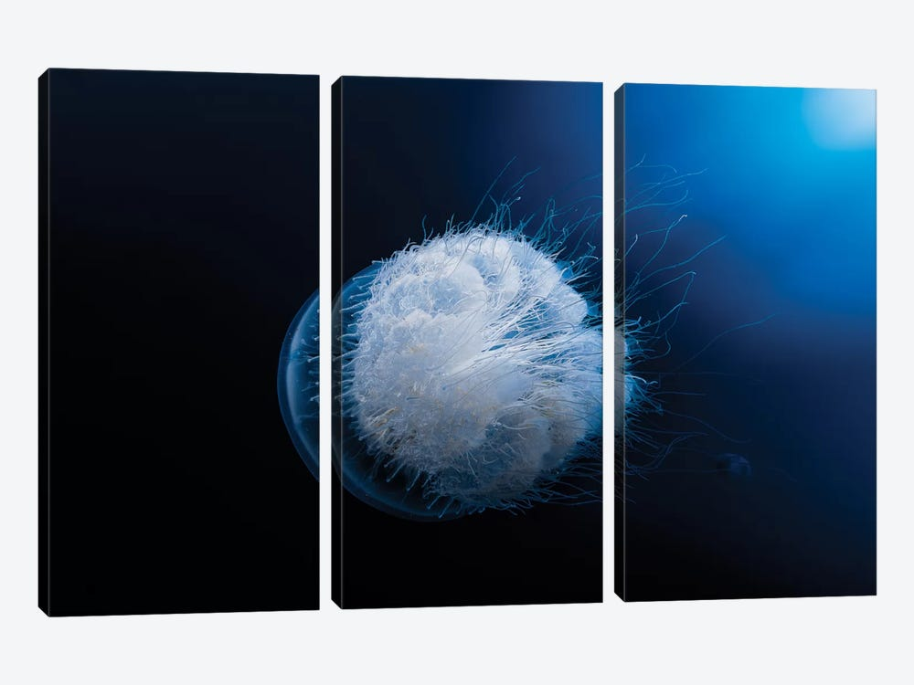 Jellyfish by Barathieu Gabriel 3-piece Canvas Print