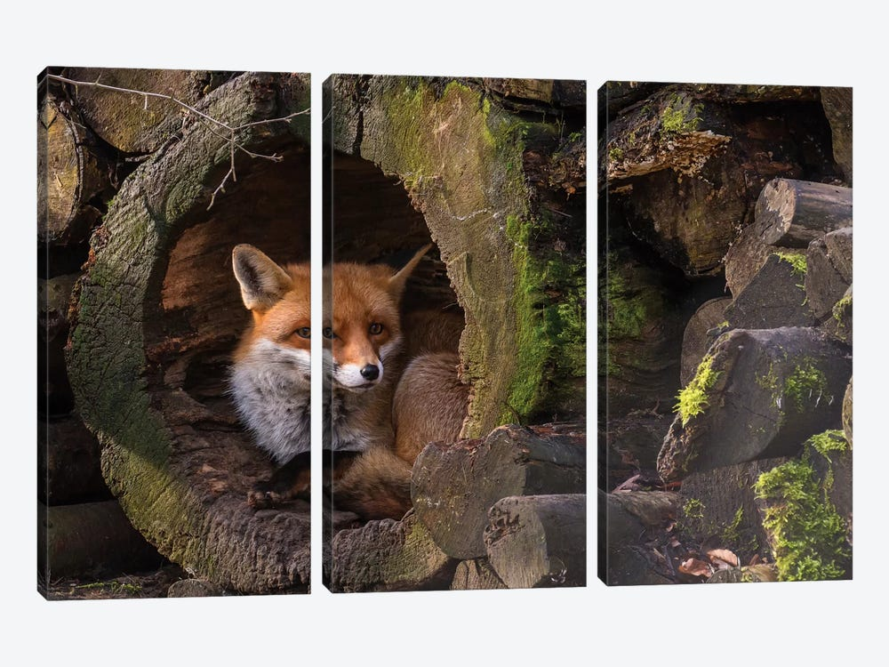 Fox by Cees van Ginkel 3-piece Canvas Print