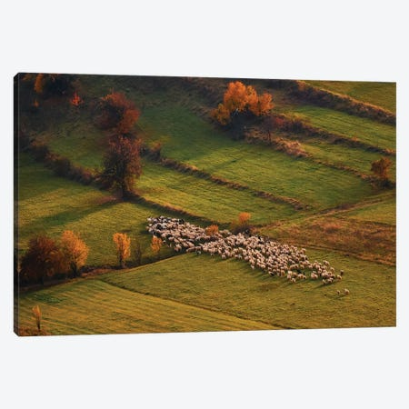 Sheep Herd At Sunset Canvas Print #OXM1282} by Cristian Lee Canvas Wall Art
