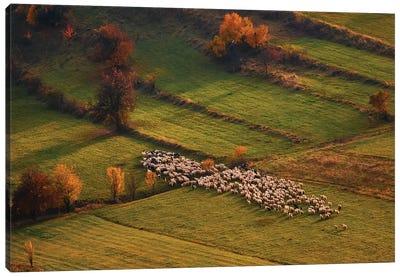 Sheep Herd At Sunset Canvas Art Print
