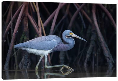 Stalking In The Mangroves Canvas Art Print