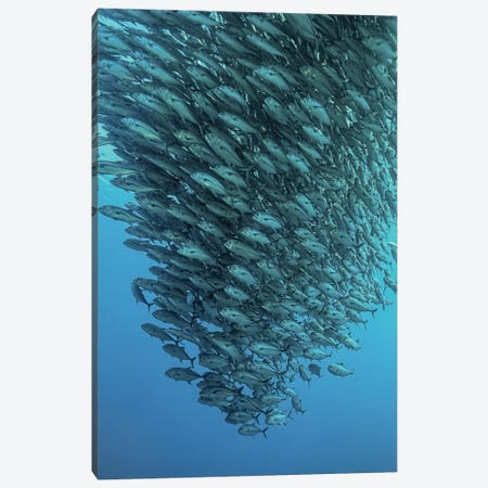 Schooling Jackfishes Canvas Print #OXM1505} by Henry Jager Canvas Art