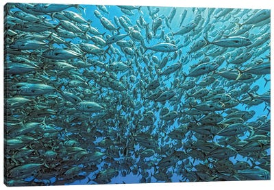 Splitted School Of Jackfish Canvas Print #OXM1506