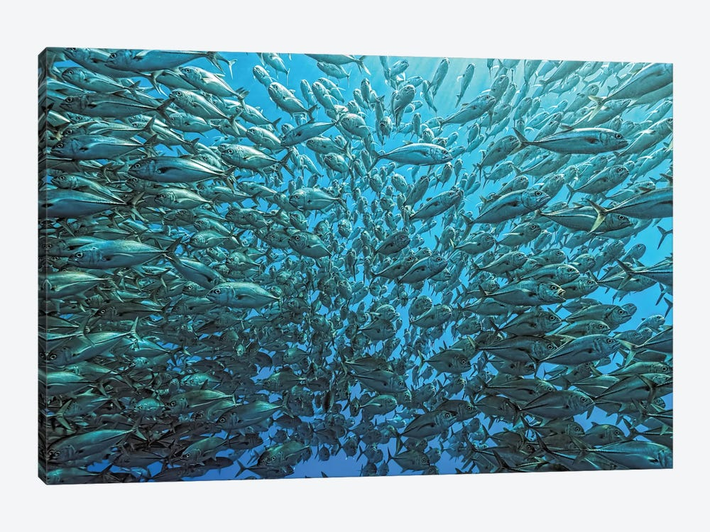 Splitted School Of Jackfish by Henry Jager 1-piece Canvas Print