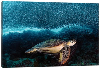 Turtle And Sardines Canvas Print #OXM1507