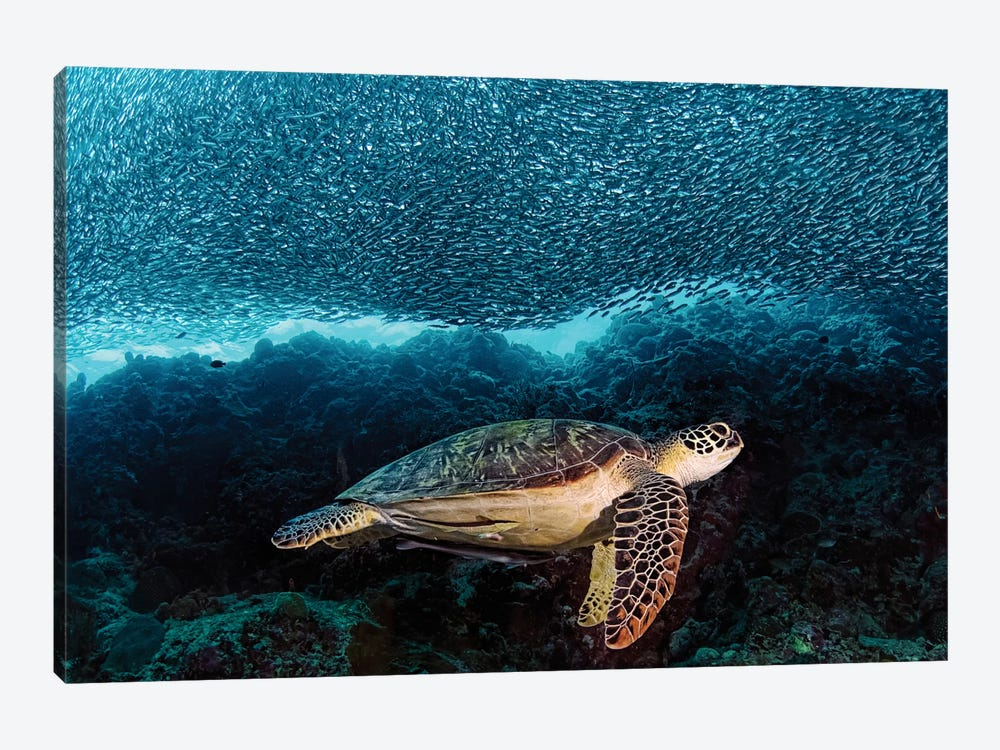 Turtle And Sardines by Henry Jager 1-piece Canvas Wall Art