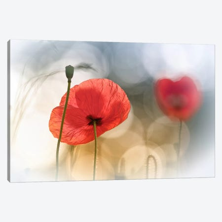 Morning Poppies Canvas Print #OXM152} by Steve Moore Canvas Art