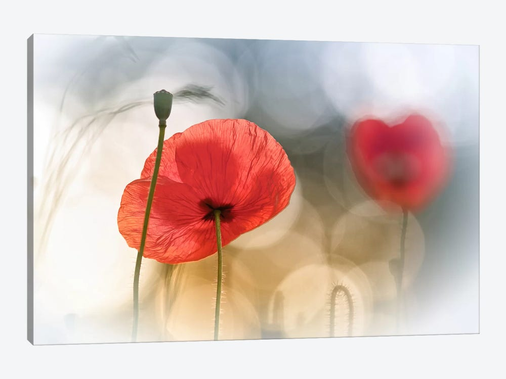 Morning Poppies by Steve Moore 1-piece Canvas Print