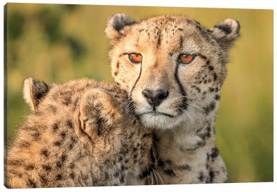 Cheetah Eyes Canvas Art Print