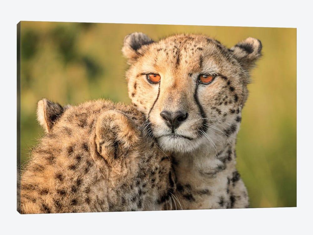 Cheetah Eyes by Jaco Marx 1-piece Canvas Art Print