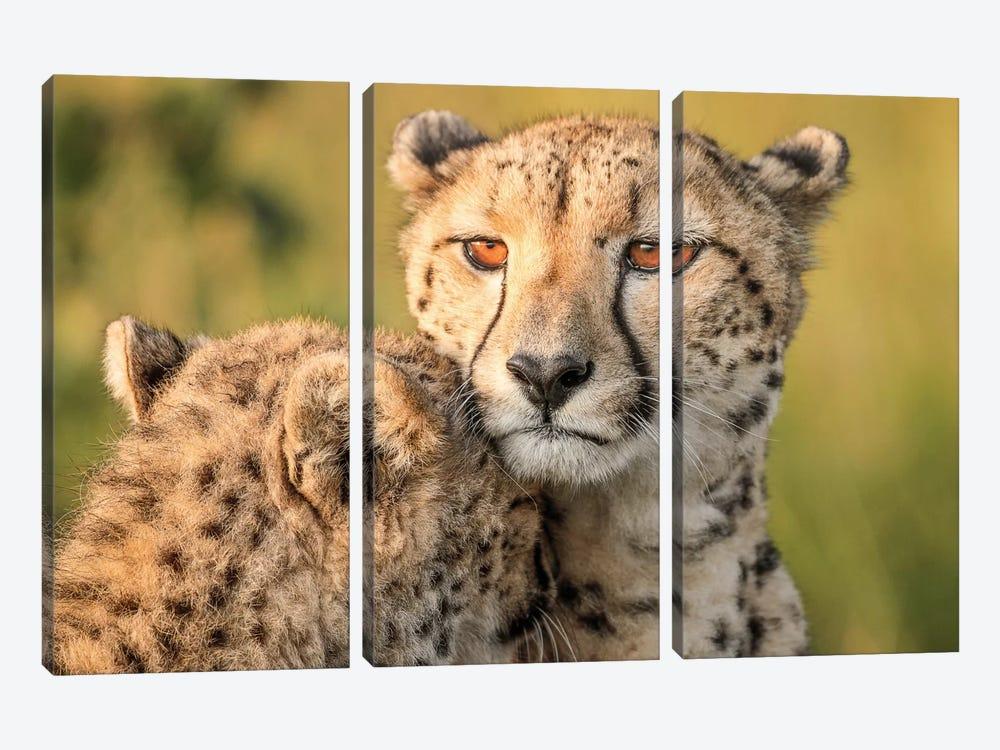 Cheetah Eyes by Jaco Marx 3-piece Canvas Print