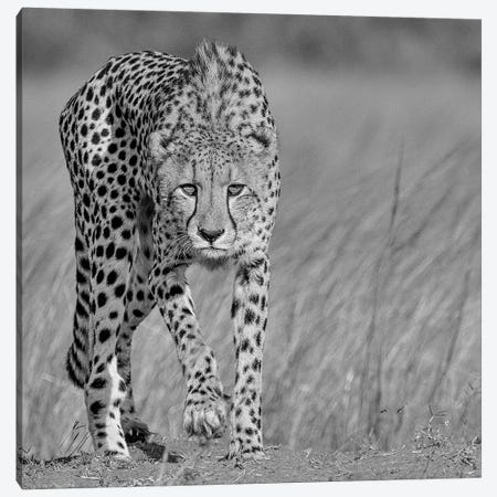 Focused Predator Canvas Print #OXM1548} by Jaco Marx Art Print