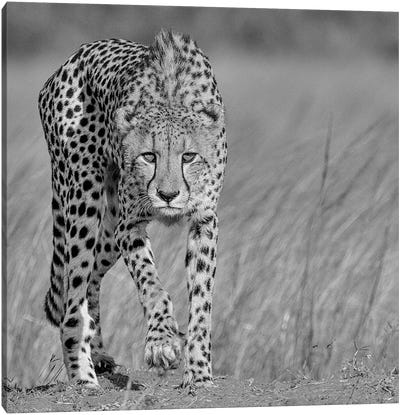Focused Predator Canvas Print #OXM1548