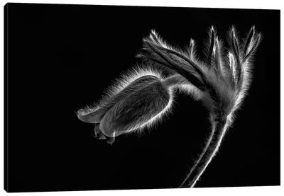 Pulsatilla Canvas Art Print