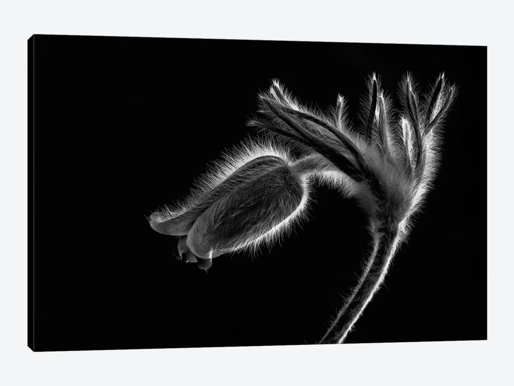 Pulsatilla by Szabo Zsolt Andras 1-piece Canvas Art Print