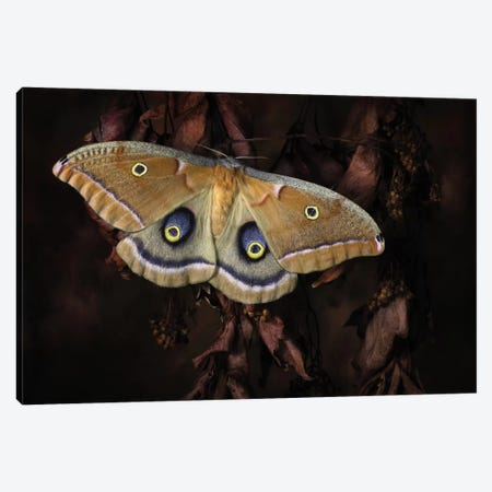 Polyphemus Canvas Print #OXM1595} by Jimmy Hoffman Art Print