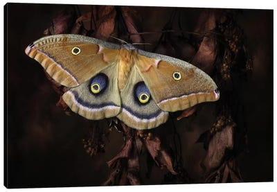 Polyphemus Canvas Art Print